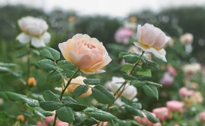 Flower of the month January: Rose