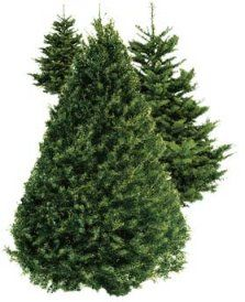 Live Christmas Trees Now In Stock News Taverham