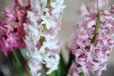 Plant of the Week: Hyacinth