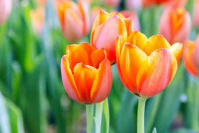 Plant of the Week: Tulip