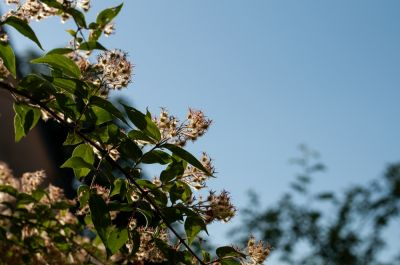 Top 5 Flowering Shrubs